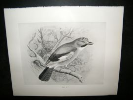 Frohawk 1898 Antique Bird Print. Jay